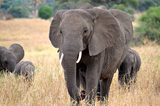 Elephants | by mcoughlin