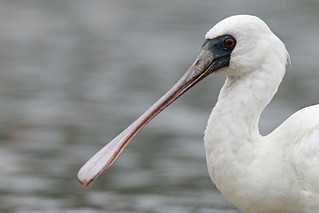 Black-faced Spoonbill | by uropsalis