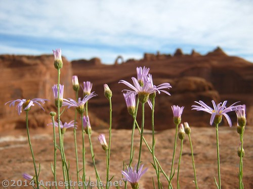 Wildflowers at the Upper Delicate Arch Overlook, Arches National Park, Utah