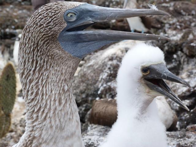 Piqueros de patas azules en las islas Galápagos (Mejores excursiones que hacer si viajas a islas Galápagos)