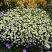 Tanacetum niveum  & Geranium 'Rozanne' by anniesannuals