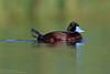 Blue-billed Duck (Oxyura australis) - male by matthewjonesphotography.com