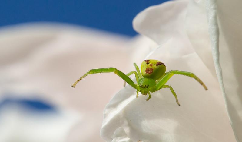 Araignée crabe diaea dorsata