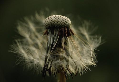 macro evening dandelion