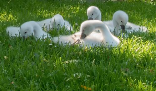 grass swan cygnet swans cygnets swanlings