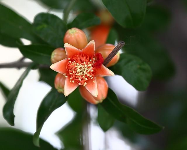 Pomegranate Star of David-2