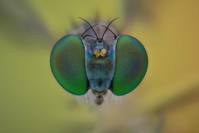 Sciapus sp. (Diptera)
