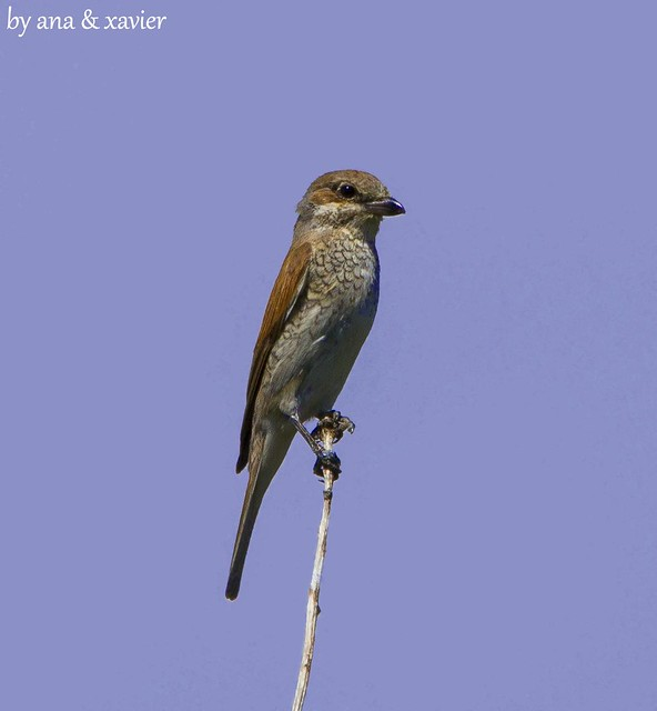 Picanço-de-dorso-ruivo, Red-backed Shrike (Lanius collurio) - em Liberdade [in Wild]