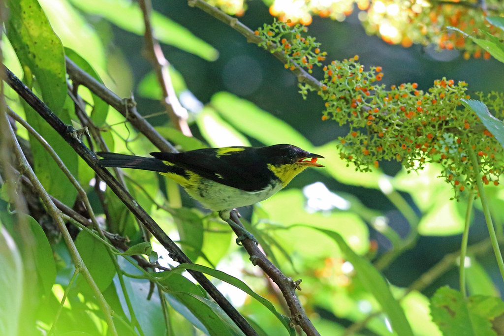 Yellow-backed Tanager, REGUA, Brazil