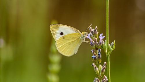 Butterfly (Pieris rapae)