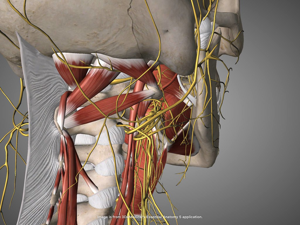 vagus nerve | The Vagus Nerve: When I speculate about why th