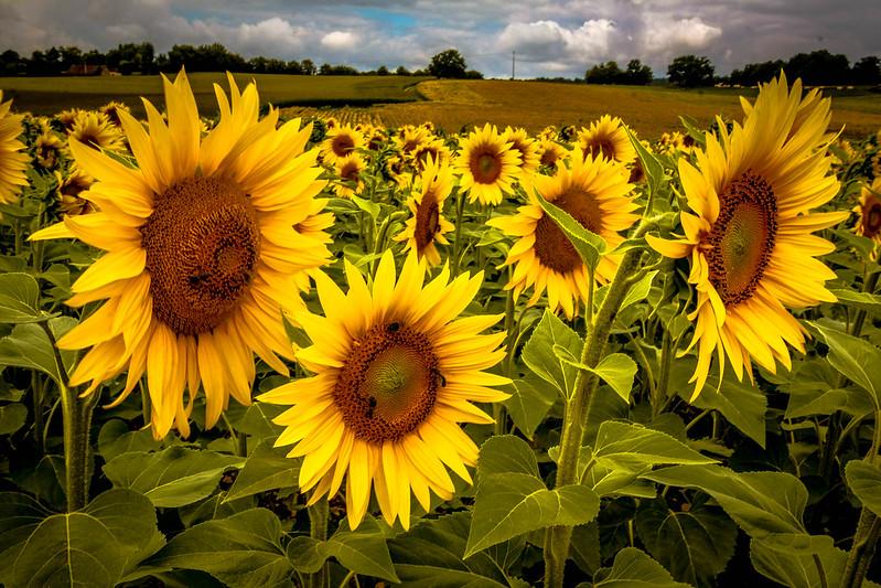 Sonnenblumen - Extrembearbeitung