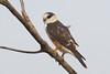 Pearl Kite 121119 Gampsonyx swainsonii by Langham Birder