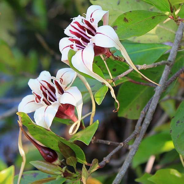 IMG_1909 Strophanthus sp. | In Savanna land from time to tim… | Flickr