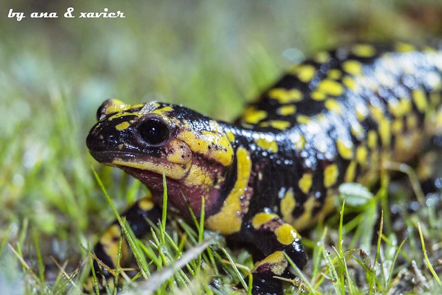 Salamandra-de-pintas-amarelas, Fire salamander (Salamandra salamandra gallaica) - em Liberdade [WildLife]
