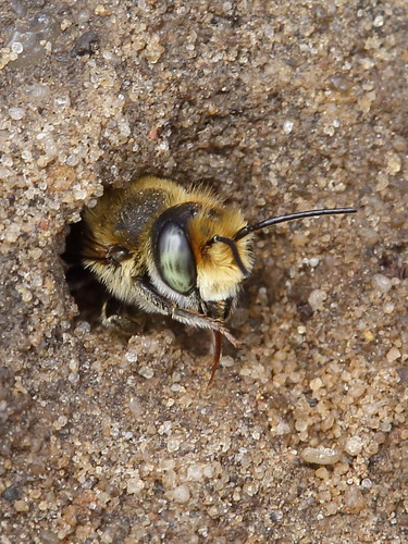 Who is pokeing out of its burrow ? A Silvery Leaf-Cutter Bee | by gbohne