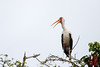 Yellow-billed Stork by DragonSpeed