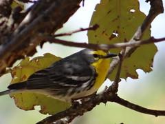 04182013 488 Grace's Warbler - Setophaga graciae
