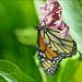 Female Monarch Butterfly by Jeannot7