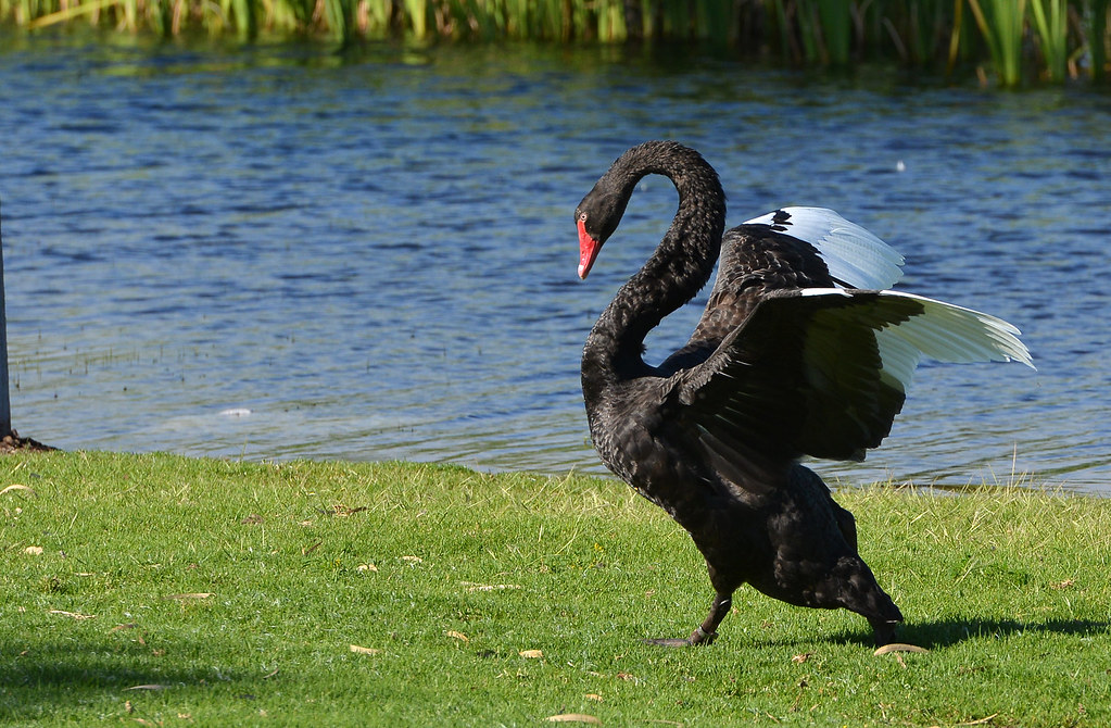 Angry bird | The black swans were having a heated discussion… | Flickr