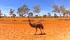 Exmouth Emu by Andy.Gocher