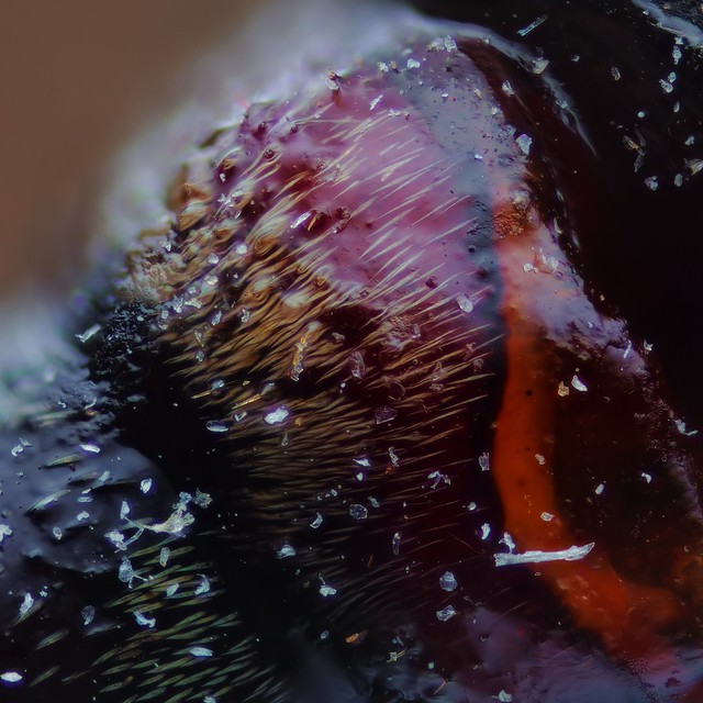 Acroncinus longimanus, Harlequin longhorn beetle