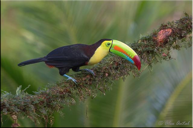 Kill-billed Toucan