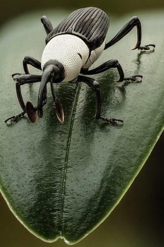 Black and white weevil (frontal) | by andredekesel