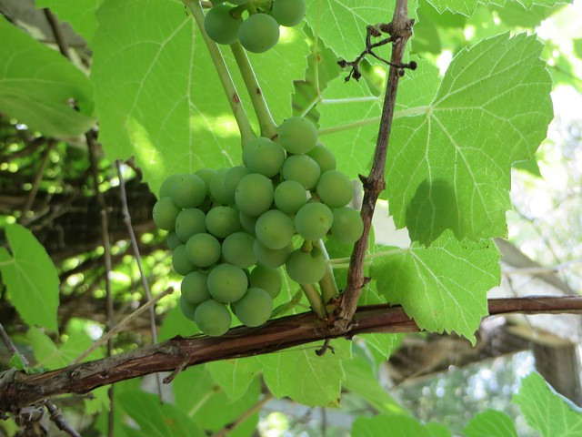 Green Concord Grapes