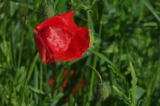 withering poppy