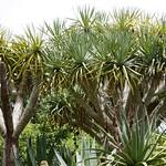 リュウケツジュ(赤い樹液が出る) 東南植物楽園
