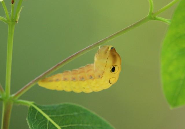 Spicebush Swallowtail going into chrysalis