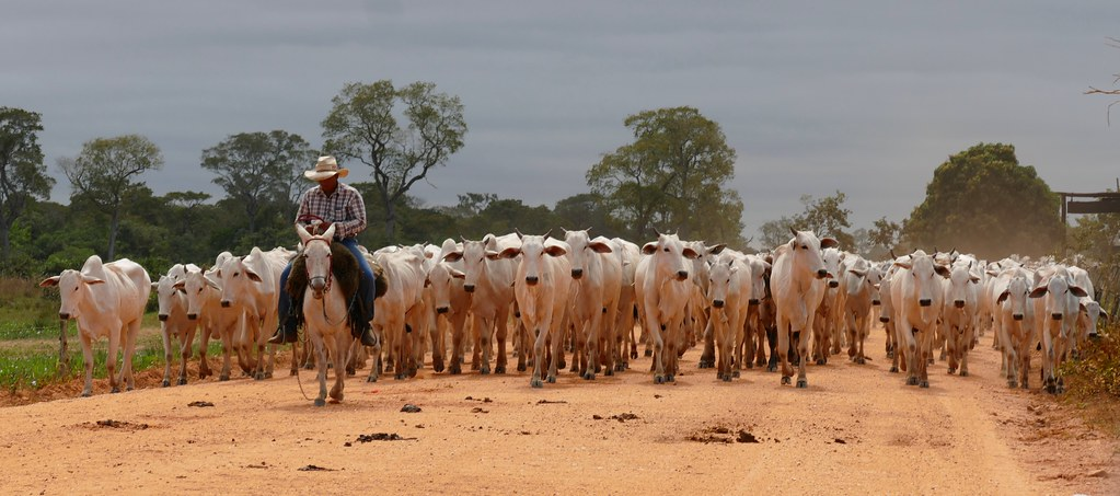 Herd Of Brahma Cattle Led By Pantaneiro Cowboy Flickr