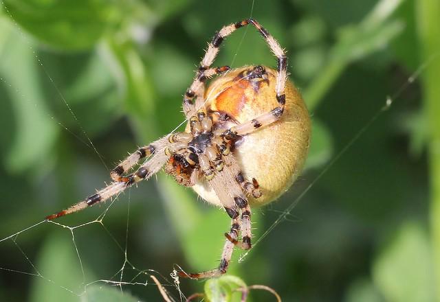 Four Spot Orb Weaver - Araneus quadratus (1)