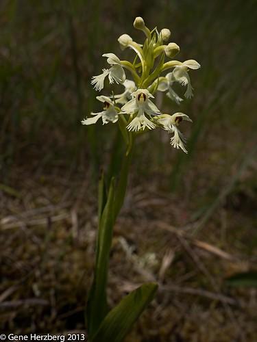 Platanthera lacera 2