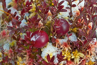 American or Large-fruited Cranberry | by Distant Hill Gardens