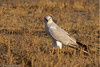 Pallid Harrier (M) #77 by SrikanthRajan