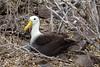 Waved albatross by string_bass_dave