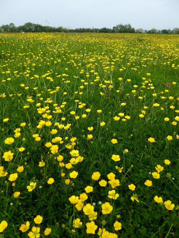 Buttercups Thame Circular walk