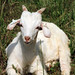 Goat Test 2013