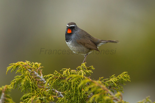 White-tailed Rubythroat - Kazakistan_S4E3569 | by fveronesi1