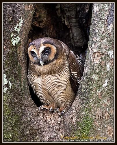 wood brown bird nature birds birding owl strix nilgiris nilgiri brownwoodowl strixleptogrammica leptogrammica birdsofnilgiris nilgirisbirds birdingnilgiris