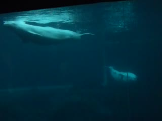 mated Belugas