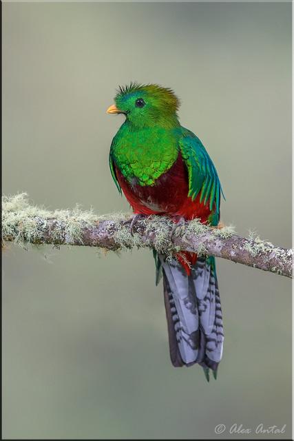Resplendent Quetzal (M)