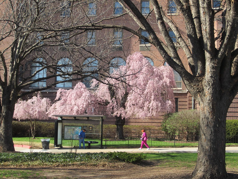 a gift from Al Capone: cherry blossoms in bloom outside Union Memorial Hospital