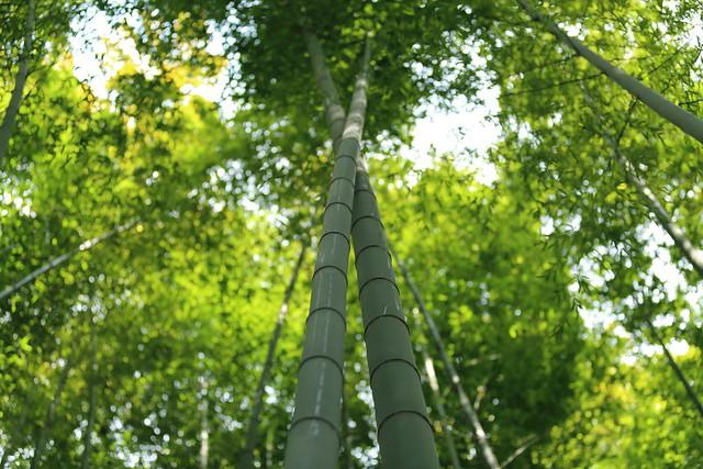 crossing bamboo.