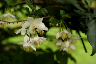 Snowbells - flowering tree (Styrax japonicus) | by Tatters ✾