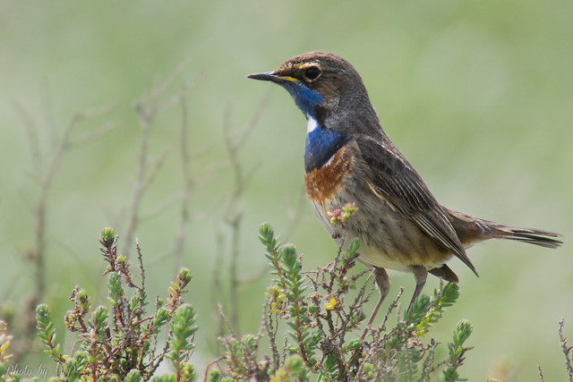 Gorgebleue à miroir / Bluethroat