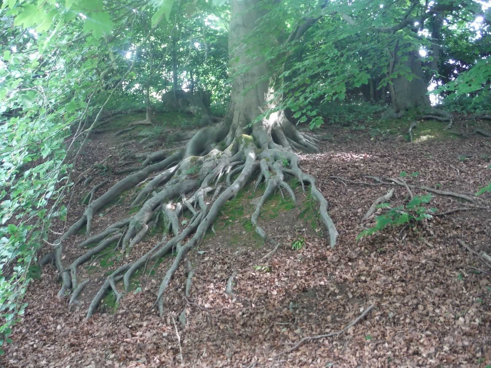 Tree Roots in Whirlowbrook Park SWC Walk 267 - Sheffield Circular (via Porter, Limb, Sheaf and Gleadless Valleys)