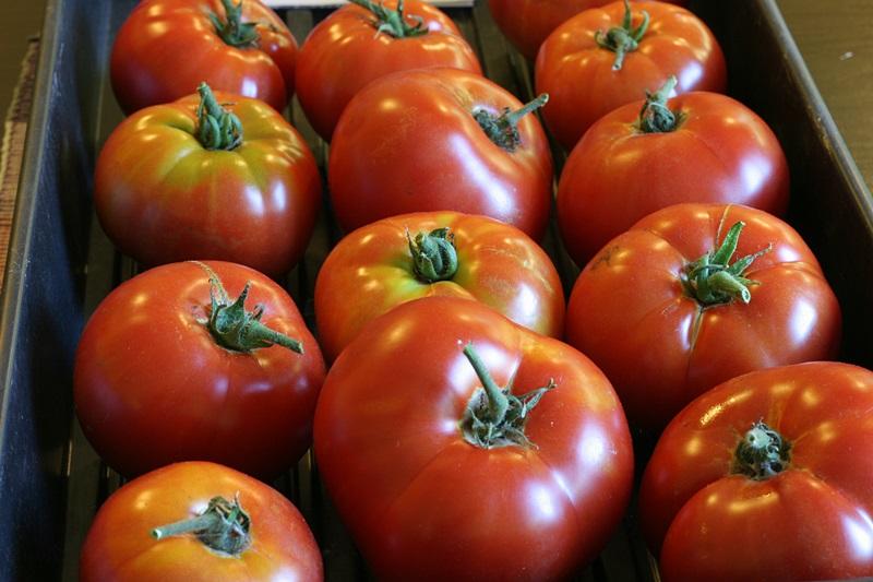 Harvest of Siletz tomatoes